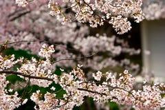 Сакура цветет вишневые цвета стоковые фотографии rf