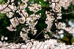 Сакура цветет вишневые цвета стоковое фото rf