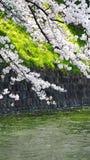 Сакура, японский вишневый цвет Стоковое фото RF