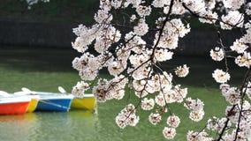 Сакура, японский вишневый цвет Стоковые Изображения RF