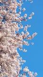 Сакура, японский вишневый цвет Стоковое Фото