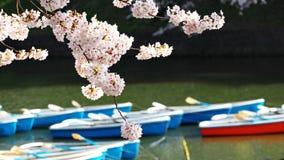 Сакура, японский вишневый цвет Стоковые Фото