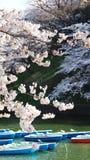 Сакура, японский вишневый цвет Стоковая Фотография RF
