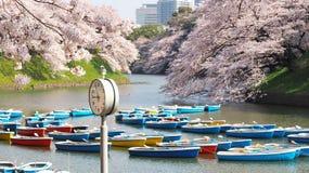 Сакура, японский вишневый цвет Стоковые Изображения