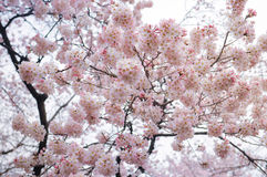 Сакур-вишня Цветение-розовая Стоковая Фотография