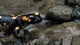 Саламандра огня Europaean сток-видео