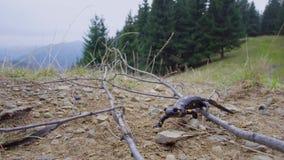 Саламандр в одичалом сток-видео