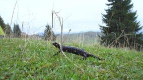 Саламандр в одичалом видеоматериал