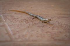Саламандр ищет еда стоковая фотография rf