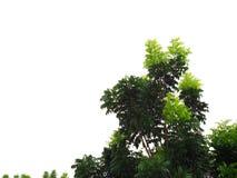 Салатовые детеныши снимают пускать ростии от куста дерева, белой предпосылки Стоковые Изображения RF