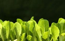 салат бутона Стоковая Фотография RF