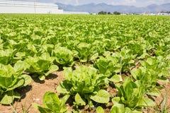 Салат в почве Стоковое Изображение