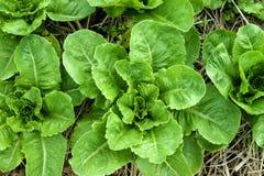 Салат в почве Стоковые Фотографии RF