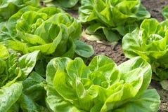 Салат в саде Стоковое Фото
