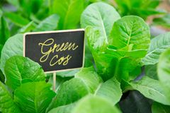 Салат завода Cos зеленого цвета Oganic здоровый Стоковое Изображение