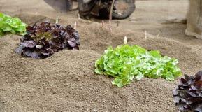 Салат лист дуба крупного плана Стоковое Фото