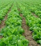 салат освоенного производства Стоковые Изображения RF