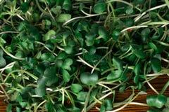 салат от ростков редиски и arugula Стоковые Фото
