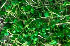салат от ростков редиски и arugula Стоковое Изображение RF