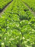 салат поля зеленый Стоковая Фотография