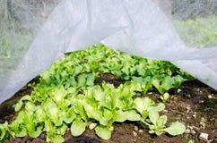 салат поля Стоковая Фотография