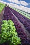 салат поля Стоковое Изображение RF