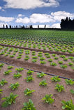 салат поля Стоковые Изображения
