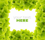 салат рамки свежий зеленый Стоковые Изображения RF