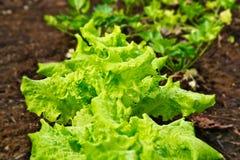 Салат растя в саде, Lactuca sativa Стоковое фото RF