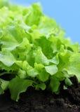 салат сада Стоковое Фото