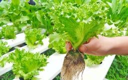 Салат салата в саде стоковые изображения