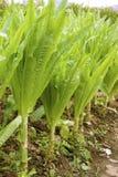 салат спаржи Стоковая Фотография RF