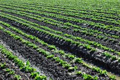 салат урожая Стоковые Изображения