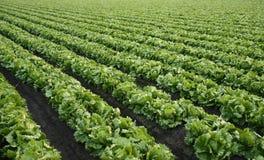 салат фермы предпосылки Стоковое Изображение