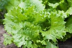 Салат Lactuca салата sativa свежий зеленый выходит, вегетарианский сбор кормового растения Стоковое Изображение