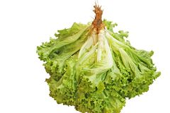 Салат, Lactuca sativa стоковое изображение