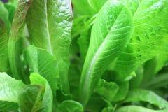 Салат Romaine стоковые фотографии rf