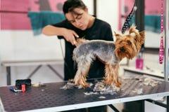 Салон холить любимчика Собака получая волосы отрезанный на животном салоне курорта стоковое изображение