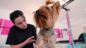 Салон холить Собака получая отрезок волос на салоне спа любимца видеоматериал