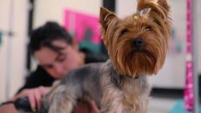 Салон холить Собака получая отрезок волос на салоне спа любимца сток-видео