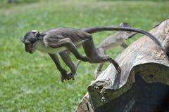 самая быстрая обезьяна Стоковая Фотография
