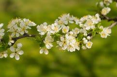 Самая лучшая цветя слива! Стоковые Изображения RF