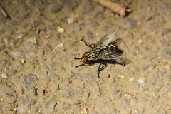 Самая тучная муха Стоковые Фото