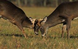 самецы оленя воюя whitetail стоковое изображение rf