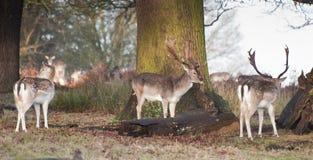 Самецы оленя залежных оленей в ландшафте пущи Стоковое Изображение RF
