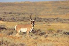 самец оленя антилопы Стоковые Изображения RF