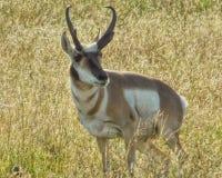 Самец оленя антилопы Pronghorn американца Стоковые Изображения RF