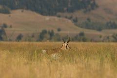 Самец оленя антилопы Pronghorn в длинной траве Стоковое Фото