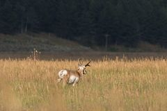 Самец оленя антилопы Pronghorn в поле Стоковые Изображения
