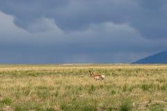 Самец оленя антилопы Pronghorn на злаковике Стоковая Фотография RF